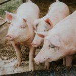 """""""No luches con cerdos"""" (Pensamientos sobre cómo manejar las críticas)"""